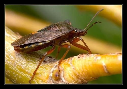 Shield bug by normanw