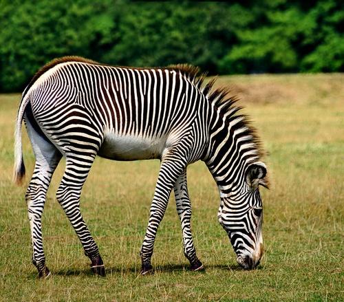Zebra 2 by bmh1