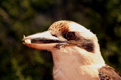kookaburra by delan