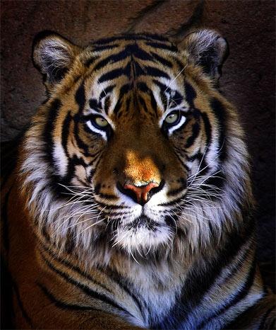 tiger by john4