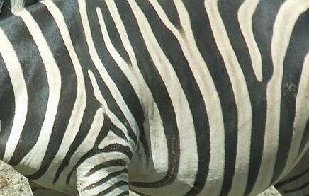 zebra by tupko