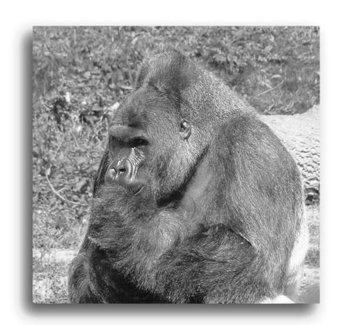 Gorilla Life II by ambro
