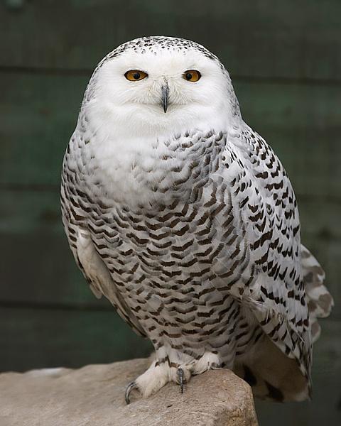 Snow Owl by MarkyMarc