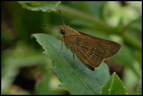Brown wings by mariner