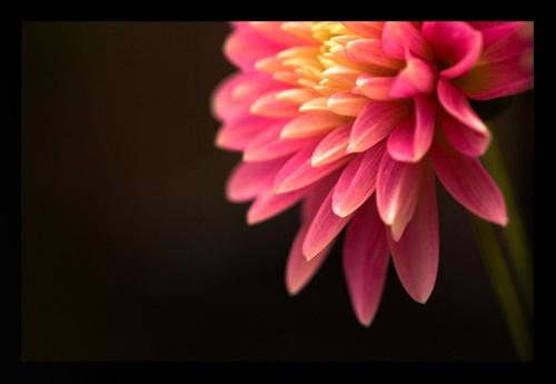 Dahlia by norick1