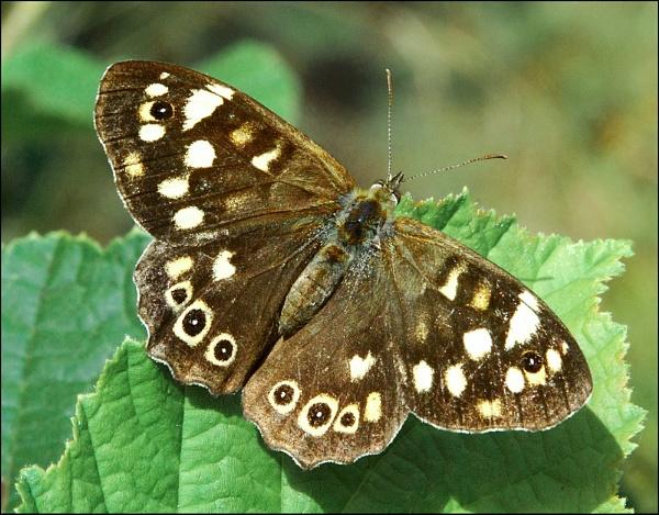 Butterfly by WayneG