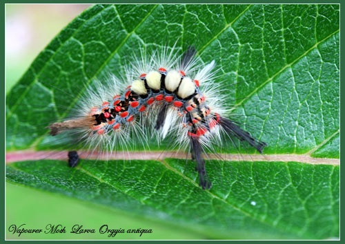 Vapourer Moth Larva by Ajack