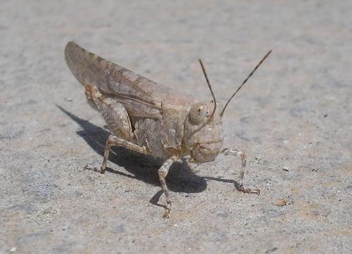 Jiminy cricket by Emmaelle