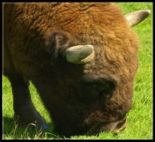 Bison by vonny