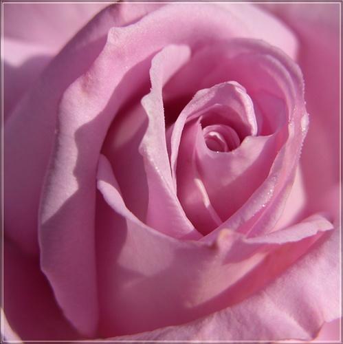 rose by vonny