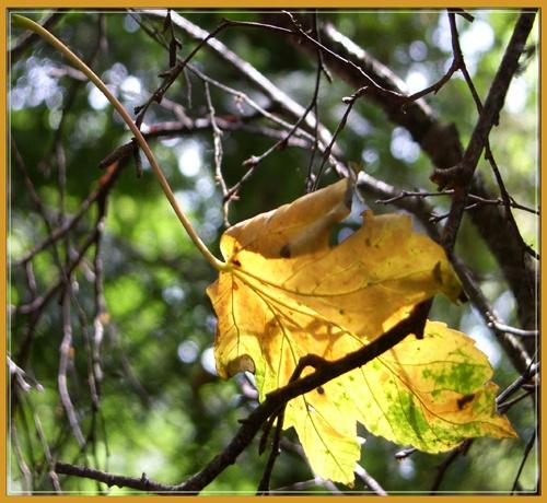 sunlit leaf by vonny