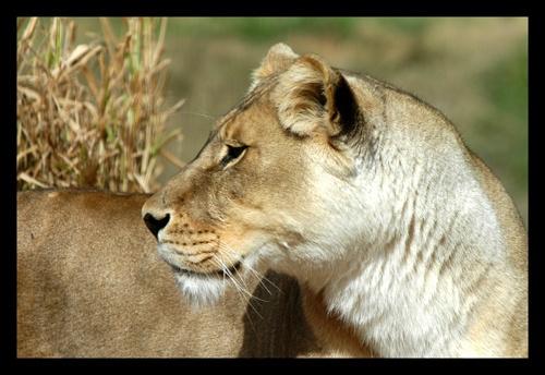 lioness by kelmac
