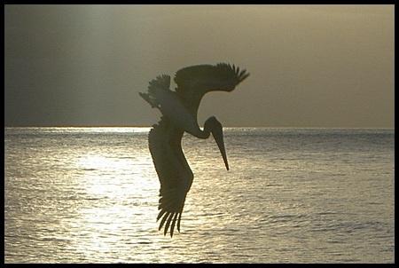 Pelican dive by jimbo75