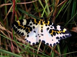 A wee moth