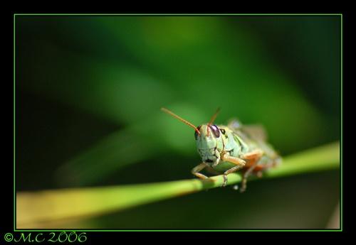 grasshopper 1 by mirceax