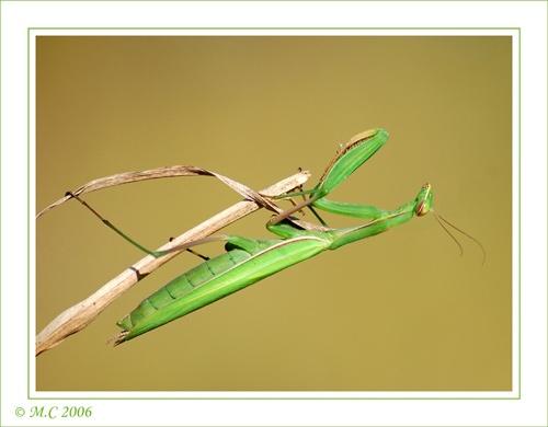mantis 1 by mirceax