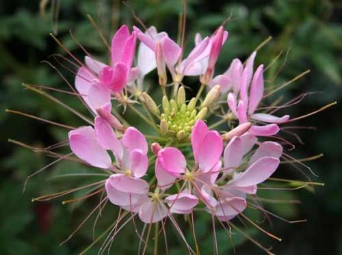 Spider Flower? by Pixsie