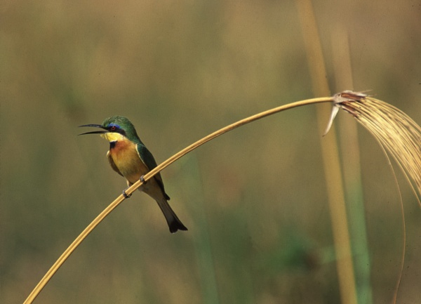 Little Bee Eater by rontear