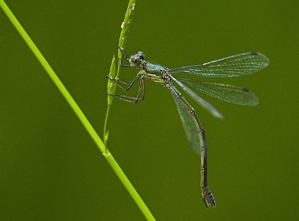 Female Emerald Damselfly by abtuie