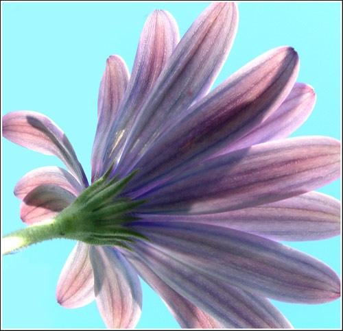 DaisyArt2 by pamnew1
