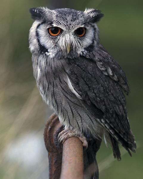 Scops Owl by bppowell