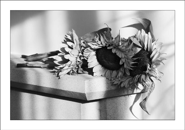 Sunflowers by ian walker