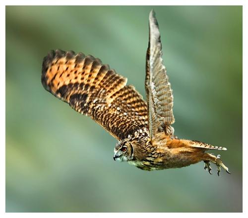 Eagle owl - upbeat by Hawkgenes