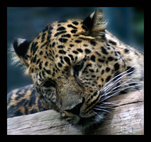 Leopard by SarahV