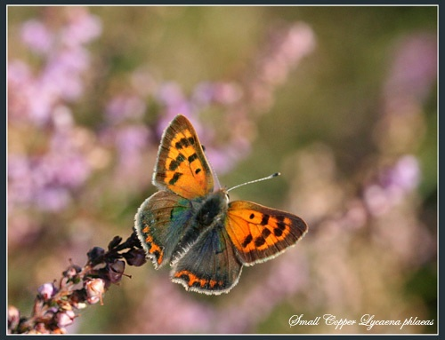 Small Copper on Heather by Ajack