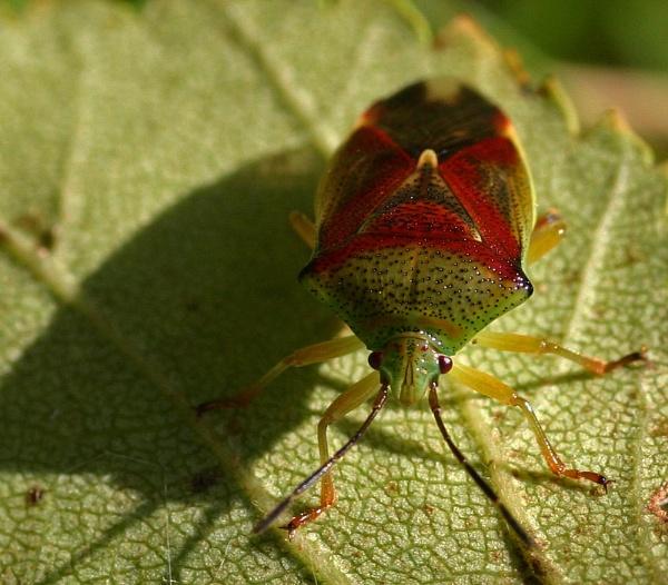 shield bug by Pogs
