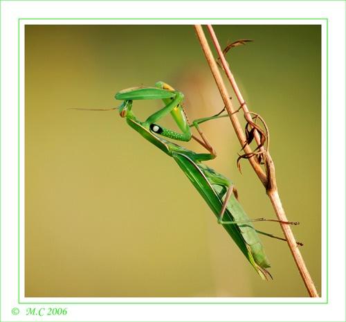 mantis 2 by mirceax