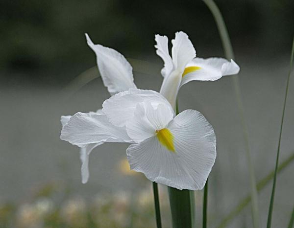 Iris by dannyS