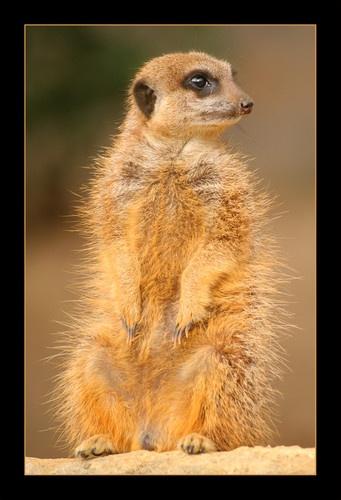 Meerkat  II by PhotoLM