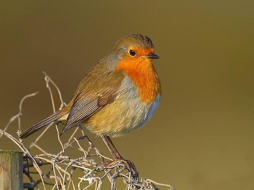pre-xmas Robin! by leeg