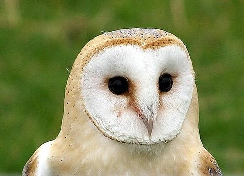 Barn Owl by bono
