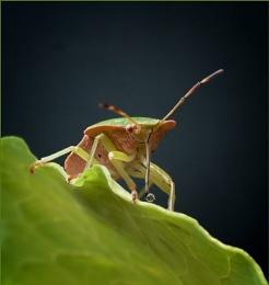 sheild bug2
