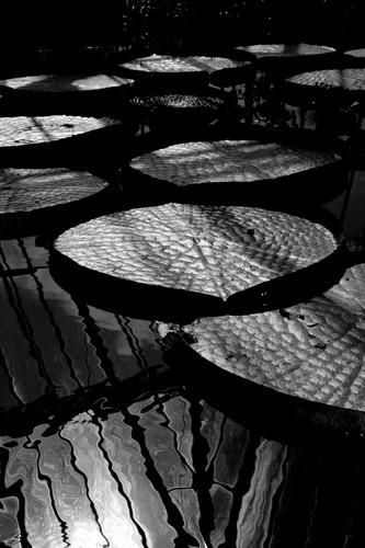 staunton lilies by curlyfilm