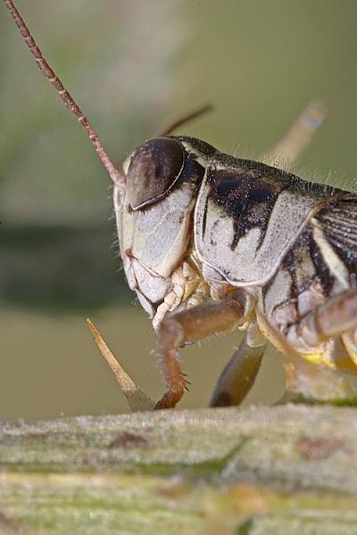 Portrait of a Grasshopper by MarkyMarc