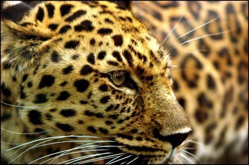 Leopard by Beta1