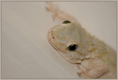 Gecko by lukey_b