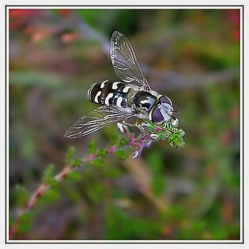 Hoverfly by pamelajean