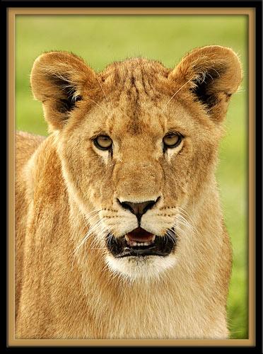 Lion cub by P181