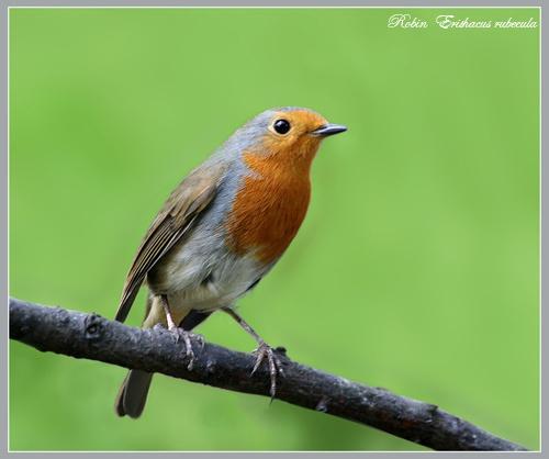 Resident  Robin by Ajack