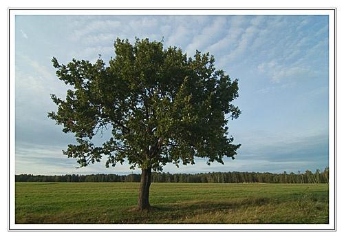 An oak tree by elph