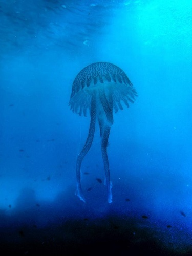 Blue Jellyfish by rrf105