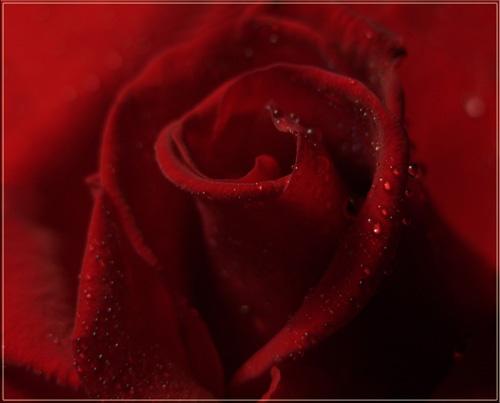 red rose by vonny