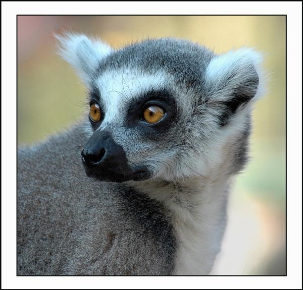 Lemur by TopsyTopping