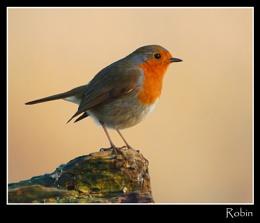 Robin on stump