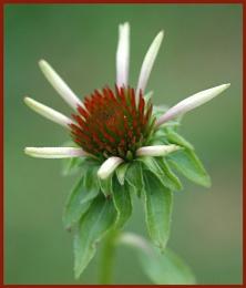 Opening Echinacea