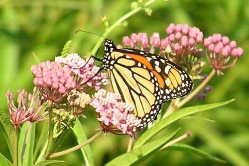 Monarch on Milkweed by skoffs